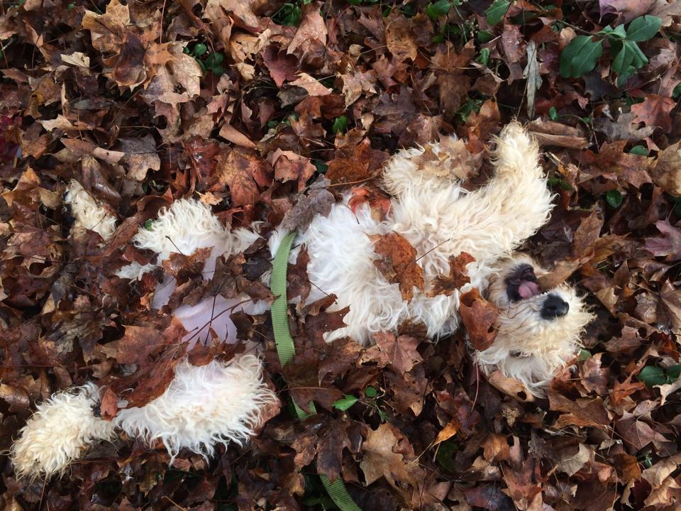Johnny Fever loves the leaves. (October 2014)